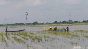 Akibat Banjir, 723 Ha Sawah Terendam Air di Kecamatan Maniangpajo