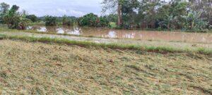 Ribuan Hektar Sawah di Wajo Terendam, Kepala BPTPH Sulsel Usulkan ke Kementan untuk Bantuan Pertanian